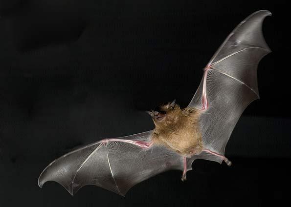 morcego1
