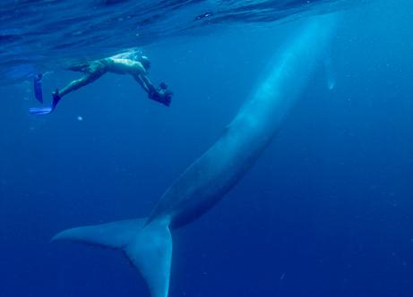 Baleia azul sendo fotografada