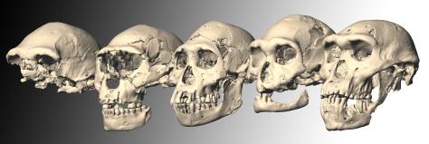 Imagem computadorizada dos cinco crânios descobertos em Dmanisi (ordenados de 1 a 5). Crédito: M. Ponce de León e Ch. Zollikofer, Universidade de Zurique