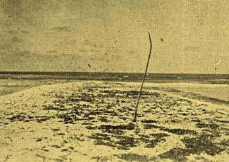Foto realizada pela Marinha do Brasil em 1934, mostrando um tronco seco de um dos antigos coqueiros plantados no século XIX.