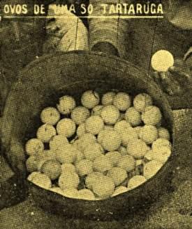 Ovos de tartaruga coletados no atol em 1934.